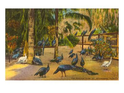 Peacocks, St. Petersburg, Florida--Art Print