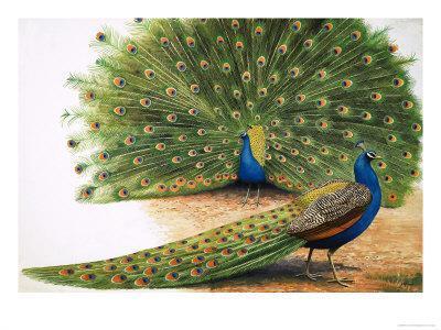 https://imgc.artprintimages.com/img/print/peacocks_u-l-p56aq80.jpg?p=0
