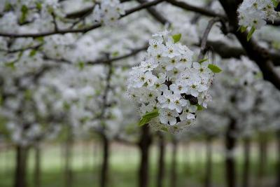Pear Blossoms in Full Bloom Brighten Rows of Nursery Trees-Stephen St^ John-Photographic Print