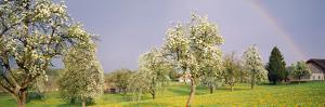Pear Trees in a Field (Pyrus Communis), Aargau, Switzerland