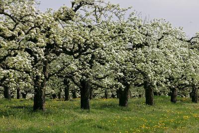 Pear Trees in Full Bloom in Zalasarszeg-Gyoergy Varga-Photographic Print