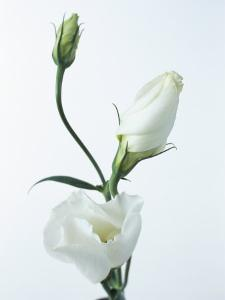 Close-Up of Eustoma Russellanium, Kyoto Pure White, Flower and Buds on a White Background by Pearl Bucknall