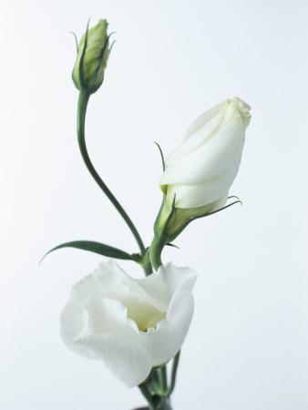 Close-Up of Eustoma Russellanium, Kyoto Pure White, Flower and Buds on a White Background