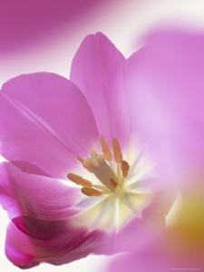 Studio Shot, Close-Up of a Pink Tulip (Tulipa) Flower by Pearl Bucknall
