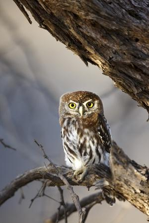 https://imgc.artprintimages.com/img/print/pearlspotted-owl-south-africa_u-l-pzpb4w0.jpg?p=0