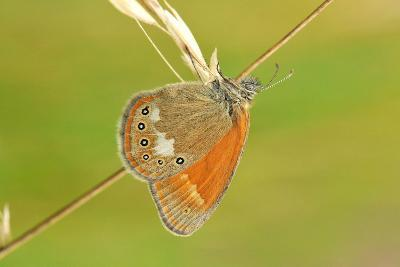 Pearly Heath Butterfly, Blade of Grass-Harald Kroiss-Photographic Print