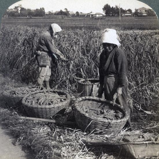 Peasants Cutting Millet, Near Yokohama, Japan, 1904-Underwood & Underwood-Photographic Print