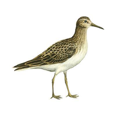 Pectoral Sandpiper (Calidris Melanotos), Birds-Encyclopaedia Britannica-Art Print