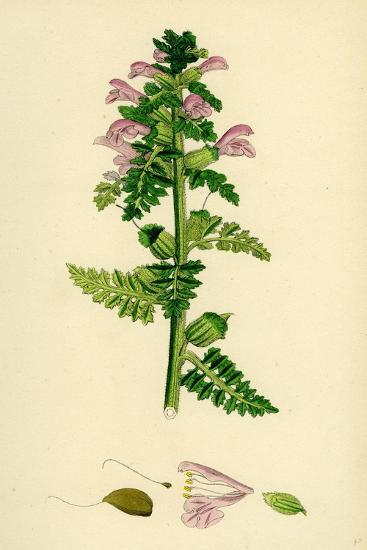 Pedicularis Palustris Upright Lousewort--Giclee Print