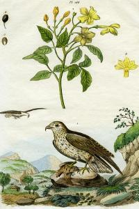 Jasmine and Short-Toed Eagle, 18th or 19th Century by Pedretti