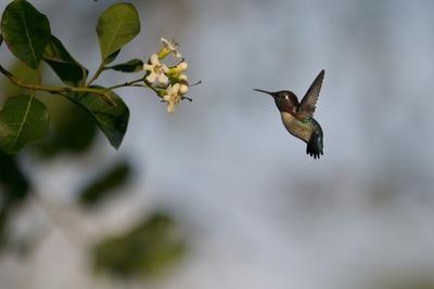 Bee hummingbird hovering, Guanahacabibes Peninsula, Cuba