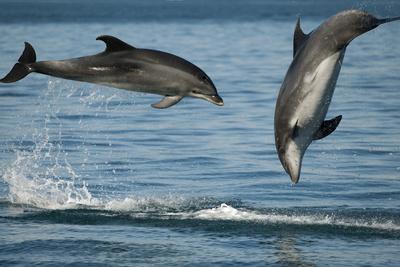 Bottlenose Dolphins (Tursiops Truncatus) Porpoising Playfully, Sado Estuary, Portugal
