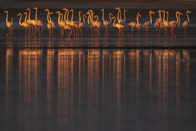 Greater flamingo flock, Sado Estuary, Portugal