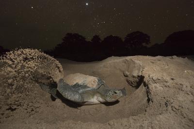 Green Turtle (Chelonia Mydas), Digging Nest. Bijagos Islands, Guinea Bissau. Endangered Species