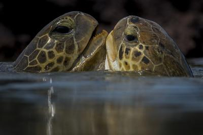 Green Turtle (Chelonia Mydas) Two Interacting at Surface