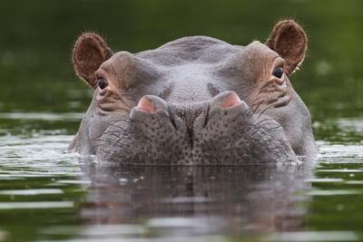 Hippopotamus at water surface, Guinea Bissau, Africa