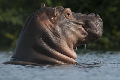 Hippopotamus (Hippopotamus Amphibius) with Head Raised Above Water Surface