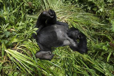 Mountain Gorilla resting, Volcanoes National Park, Rwanda