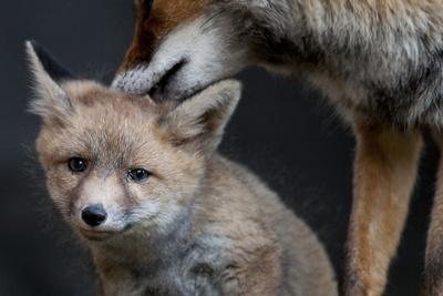 Red fox vixen grooming cub, Sado Estuary, Portugal