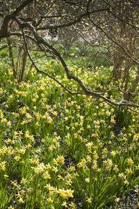 Narcissus 'Jumblie' Along One of the Wooded Walks at Rhs Wisley in March by Pedro Silmon