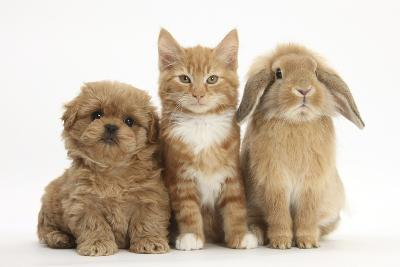 Peekapoo (Pekingese X Poodle) Puppy, Ginger Kitten and Sandy Lop Rabbit, Sitting Together-Mark Taylor-Photographic Print