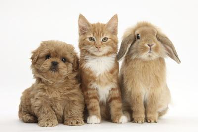 https://imgc.artprintimages.com/img/print/peekapoo-pekingese-x-poodle-puppy-ginger-kitten-and-sandy-lop-rabbit-sitting-together_u-l-q10o7dm0.jpg?p=0