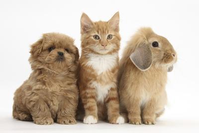 Peekapoo Puppy, Ginger Kitten and Sandy Lop Rabbit-Mark Taylor-Photographic Print