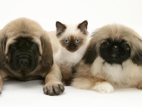 Pekingese and English Mastiff Puppies with Birman-Cross Kitten-Jane Burton-Photographic Print