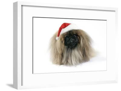 Pekingese in Christmas Hat