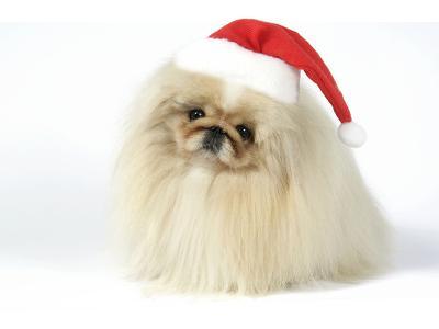 Pekingese in Christmas Hat--Photographic Print