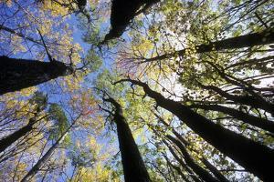 Aspen Trees by Pekka Parviainen