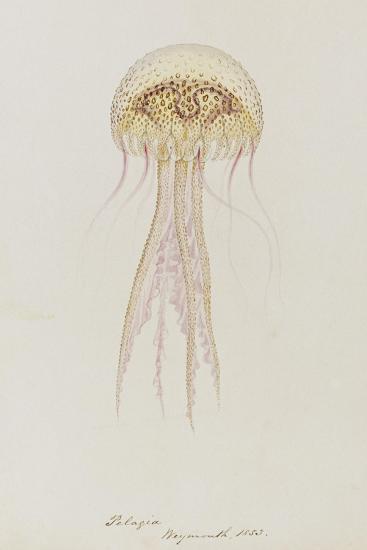 Pelagia, Weymouth, 1853: Pelagia Noctiluca: Jellyfish-Philip Henry Gosse-Giclee Print