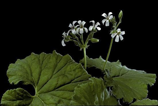 Pelargonium Odoratissimum (Apple Geranium)-Paul Starosta-Photographic Print