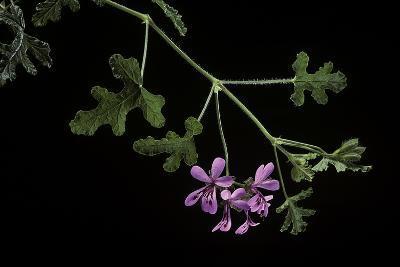 Pelargonium Quercifolium (Oakleaf Geranium)-Paul Starosta-Photographic Print