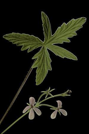 https://imgc.artprintimages.com/img/print/pelargonium-quinquelobatum_u-l-pzr0eu0.jpg?p=0