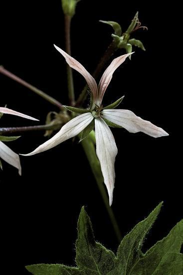Pelargonium X Hortorum 'Bird Dancer' (Common Geranium, Garden Geranium, Zonal Geranium)-Paul Starosta-Photographic Print