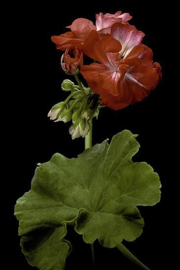 Pelargonium X Hortorum 'Corinne' (Common Geranium, Garden Geranium, Zonal Geranium)-Paul Starosta-Photographic Print