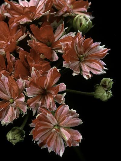 Pelargonium X Hortorum 'Etoile Rambler' (Common Geranium, Garden Geranium, Zonal Geranium)-Paul Starosta-Photographic Print