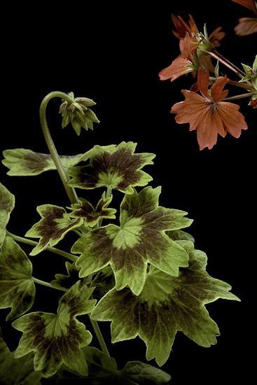 Pelargonium X Hortorum 'Golden Ears' (Common Geranium, Garden Geranium, Zonal Geranium)-Paul Starosta-Photographic Print