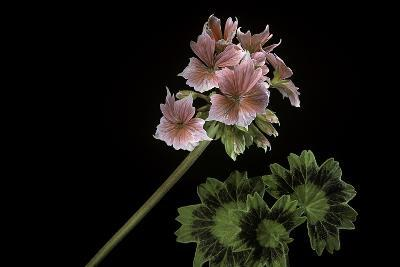 Pelargonium X Hortorum 'Stellar Rose' (Common Geranium, Garden Geranium, Zonal Geranium)-Paul Starosta-Photographic Print