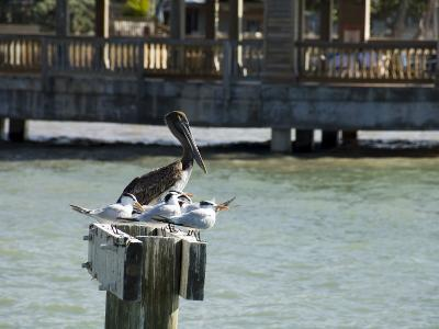 Pelican and Sea Birds on Post, Key West, Florida, USA-R H Productions-Photographic Print