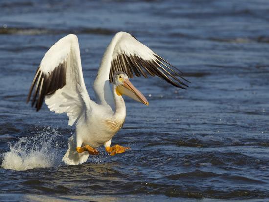 Pelican GIO-Galloimages Online-Photographic Print