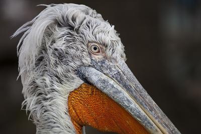 Pelican in the Zoo Schšnbrunn, Vienna, Austria, Europe, February-Gerhard Wild-Photographic Print