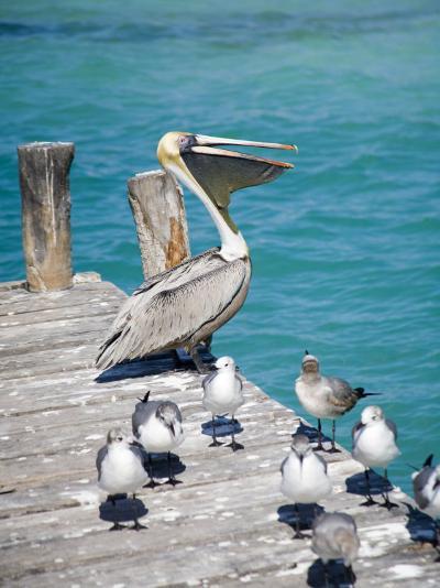 Pelican, Isla Mujeres, Quintana Roo, Mexico-Julie Eggers-Photographic Print