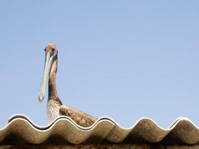 https://imgc.artprintimages.com/img/print/pelican-on-roof_u-l-pd6uyj0.jpg?p=0