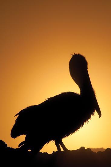 Pelican Silhouette II-Erin Berzel-Photographic Print