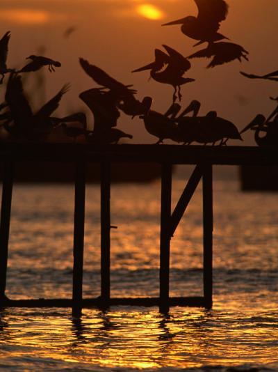 Pelicans Congregate on Pier at Chorro Beach, Arica, Tarapaca, Chile-Paul Kennedy-Photographic Print