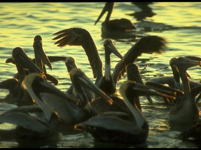Pelicans in the Sunset at Key Biscayne, Florida-George Silk-Photographic Print