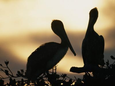 Pelicans Silhouetted at Sunset-Bill Curtsinger-Photographic Print