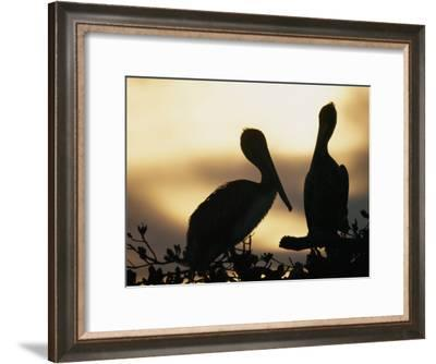 Pelicans Silhouetted at Sunset-Bill Curtsinger-Framed Photographic Print